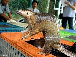 A tame and friendly Pangolin.  Persecuted and endangered in the Orient, etc.
