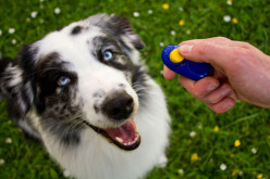 Clicker Training Basics: How to Train Your Dog Using a Clicker