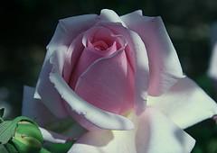 Roses at Adelaide Botanic Gardens.