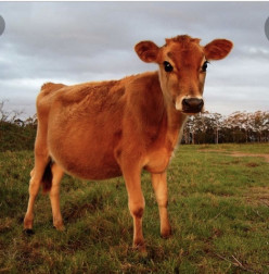 The Return of the Red Heifer