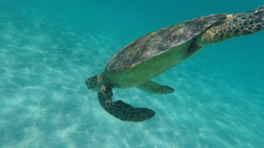 Turtle at Lifou