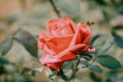 That Cute Little Rose