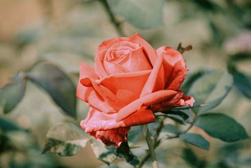 a gift for rose flower