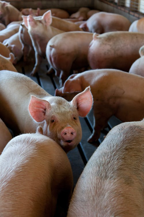 Pigs on an urban farm