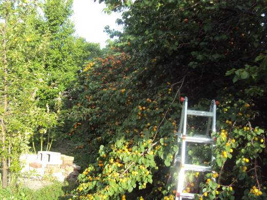 With 23 apricot trees to harvest with two ladders and four hands, it was almost too much.