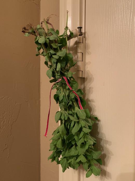 Oregano hanging to dry