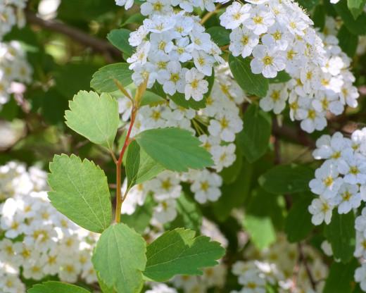 'Reeves Bridal' Spirea Shrub Flowers and Leaves