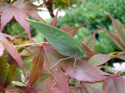 Photo 2 - This one is wild looking!  I believe this is a Katydid.