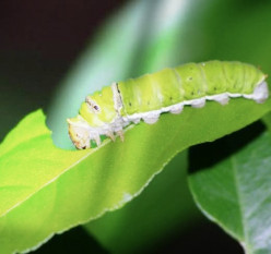 Caterpillar Eats