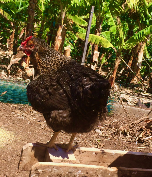 A Young Chicken