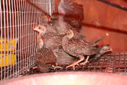 Even at four weeks old these wild Quail are not domesticated, they bunch together when people come near even when being given food & water!