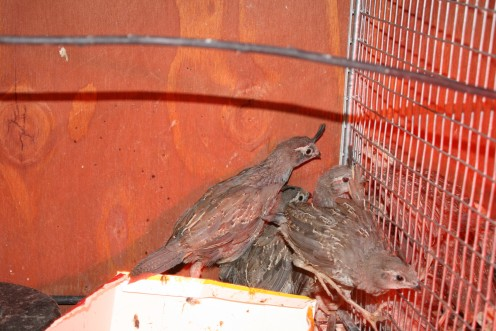 """These six weeks old quail have very defined """"google-berries"""" on their heads.  You could also call them crowns....."""