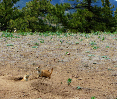 Prairie dogs along the trail at Hall Ranch near Lyons, Colorado.