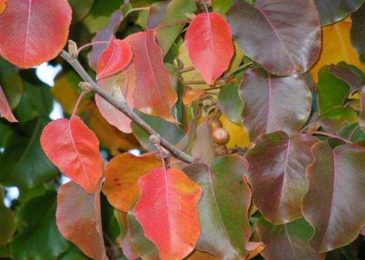 Leaves prepare to leave in splendor