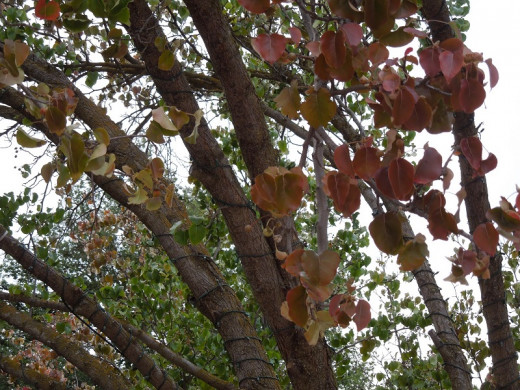 Ornamental pear tree colors beginning to fade