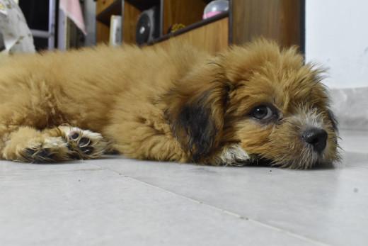 Pongo: The Shih Apso Puppy