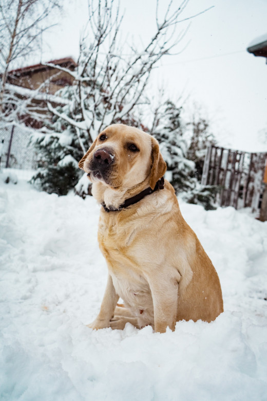 """""""Yellow Lab"""" in the snow.  Pexels.com"""