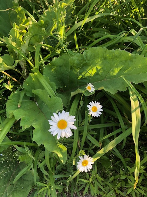 Daisies Among the Green