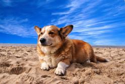 15 Cute Facts Of Corgi Dog For Kids