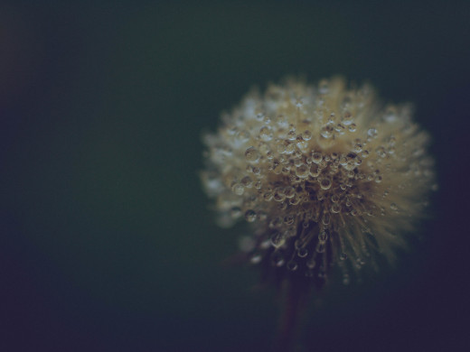 A Dandelion Seedhead captured using a Westagon 50mm f1.9 that I paid about £25 for several years ago ... now on eBay for over £300