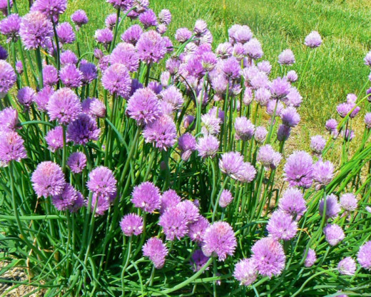 Chives: one of the earliest perennial herbs to green up and bloom.