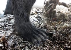 More Bigfoot Encounters