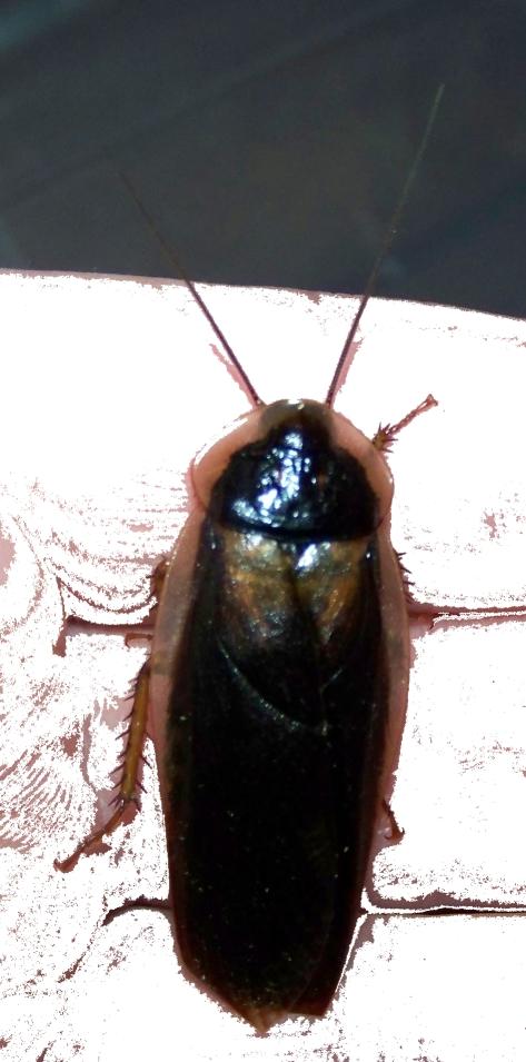 Male Blaptica Dubia