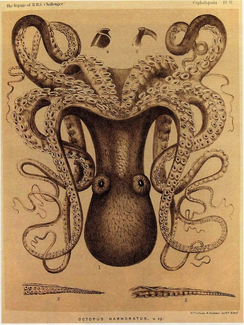 Octopus  -Marmoratis