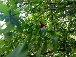 What is Barbados (Bajan) Cherry