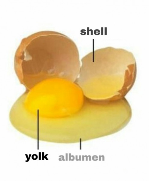 The yolk, albumen (egg white), and shell are the most important parts of the egg in terms of cooking.