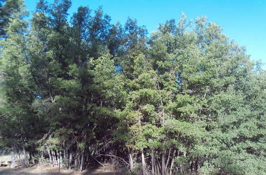 Scrub Oak growing in New Mexico