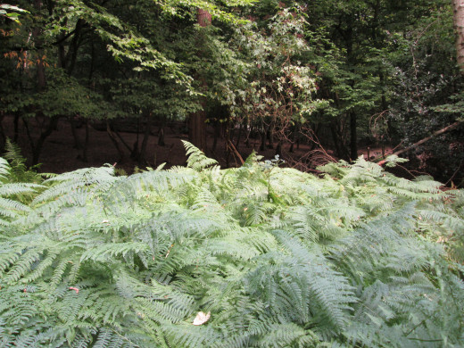 Around on the far side, below the road on the north side of High Beech that links up with the Waltham road to the Wakes Roundabout, a contrast between the light green of the ferns and the darker tree foliage.