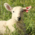 The Cost of Raising Sheep