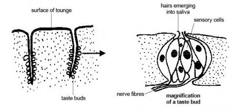 Anatomy of the taste buds.