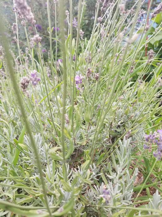 Lavender blooms from June through August in our herb garden.