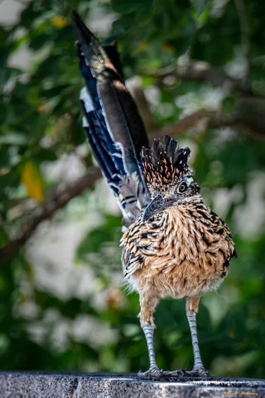 The Greater Roadrunner is the state bird of New Mexico. It has been credited as having supernatural powers, and is also called the War Bird, Snake Eater, or Medicine Bird. They are a common sight all over New Mexico.