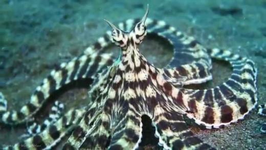 Amazing Mimic Octopus