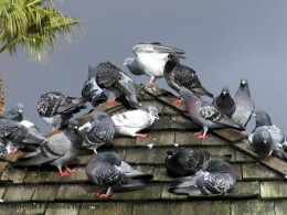 Pigeons are, for some, considered as pests. A bird pest.