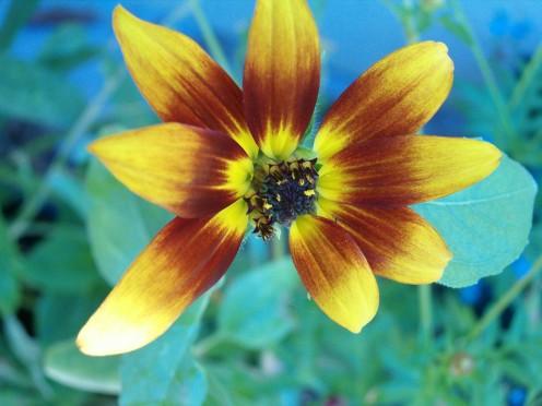 multicolored sunflower photo