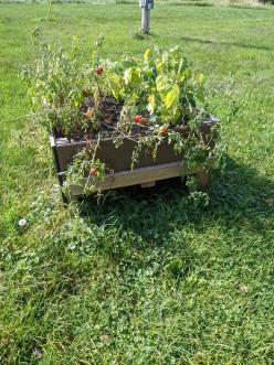 Raised Gardening - Harvesting the Crops