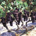 Can a vine produce figs?