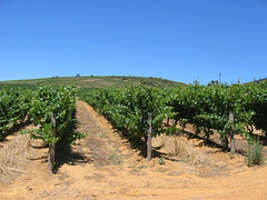An Italian Vineyard.