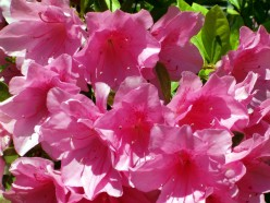 Azaleas - A Beautiful Flowering Shrub