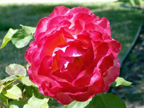 Rose,from the rosaceae family