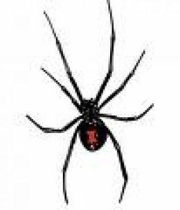 Black Widow.  Named because eats male, not because it might make you into a widow! Very potent venom.  Note red, fiddle shaped mark.  Not aggressive unless molested