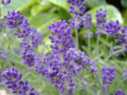 English lavender in a n Oxfordshire garden by Ken Irwin