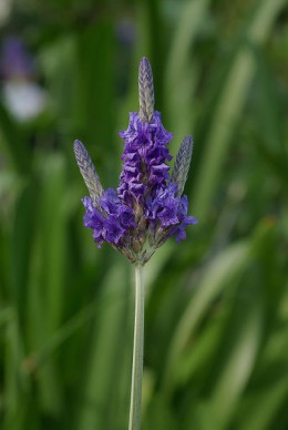Lavandula.Multifida photographed by Laitche, courtesy Wik commons