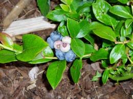Ripened blueberries on bush.  Photo by Charlotte E. Gerber.