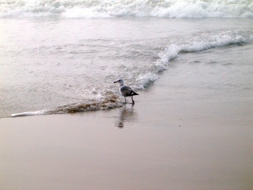 Bird walking along a wave that is going back out to sea.