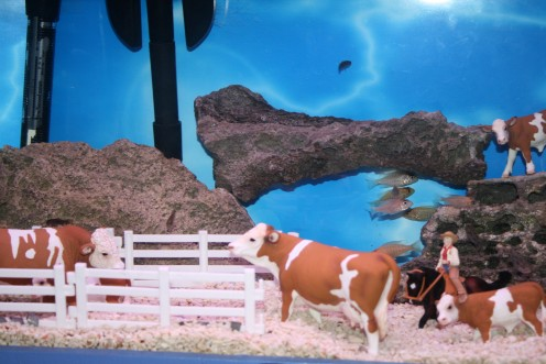 Who would have thought that fish and cows can get along?  This is one of the many unusual approaches illustrated in the creative world of tropical fish! A COOL place to hang out.... (click the photo to see the fish more easily)